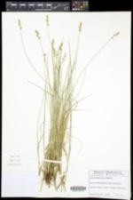 Carex atlantica var. atlantica image