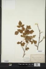 Image of Rhus aromatica