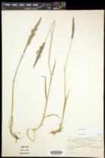 Calamagrostis pickeringii image