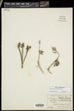 Botrychium dissectum image
