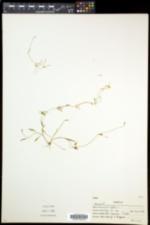 Ranunculus flammula var. reptans image