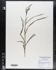 Image of Calyptrocarya bicolor