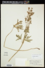 Geranium pratense image
