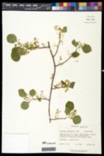 Celastrus orbiculatus image