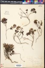 Vaccinium vitis-idaea subsp. minus image