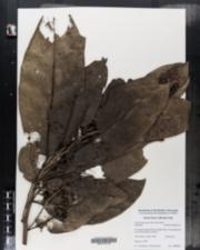 Image of Ocotea leucoxylon
