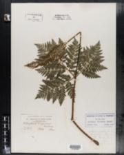 Image of Botrychium virginicum