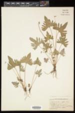 Viola notabilis image