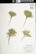 Lycopodium tristachyum image