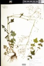 Image of Mycelis muralis