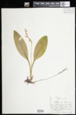 Image of Liparis loeselii