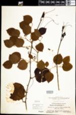 Image of Smilax rotundifolia