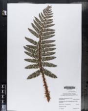 Image of Polystichum polyblepharum