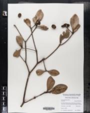 Image of Ocotea spathulata