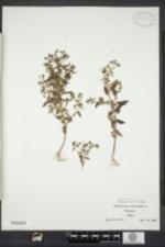 Trichostema dichotomum image