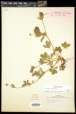 Potentilla simplex image