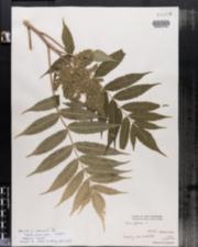 Rhus typhina image
