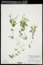 Galinsoga quadriradiata image