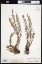 Image of Asplenium platyneuron