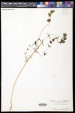 Rhinanthus minor subsp. minor image