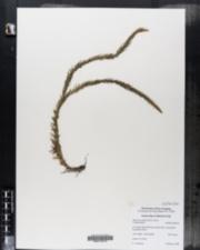 Image of Huperzia taxifolia