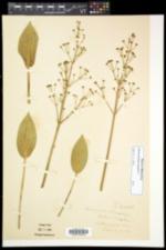Alisma plantago-aquatica image