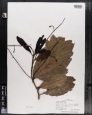 Image of Ocotea paulii