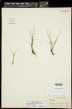 Isoetes echinospora image