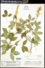 Thermopsis mollis image
