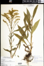 Image of Solidago juncea