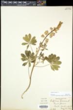 Lupinus perennis subsp. perennis image