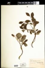 Image of Salix arctophila