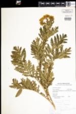 Image of Tanacetum vulgare