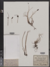 Image of Blysmopsis rufa