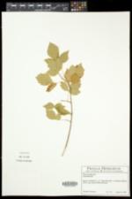 Rhus aromatica var. aromatica image