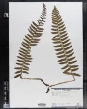 Image of Polystichum achostichoides