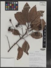 Image of Ocotea auriculiformis