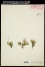Selaginella sibirica image