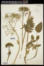 Valeriana uliginosa image