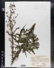 Image of Lactuca saligna