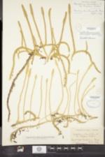 Image of Lycopodiella ×copelandii