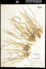 Dichanthelium linearifolium image