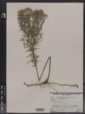 Euthamia caroliniana image