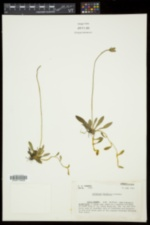 Hieracium pilosella image