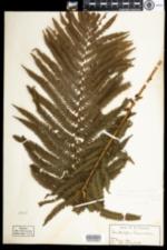 Image of Matteuccia struthiopteris