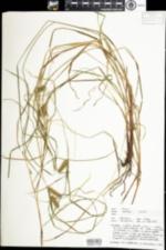 Image of Carex baileyi