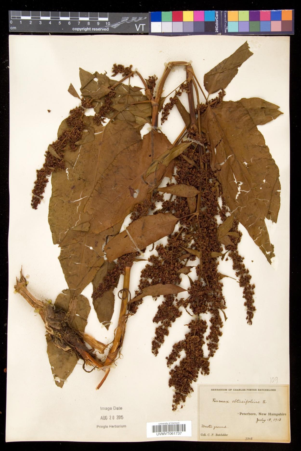 Rumex obtusifolius subsp. obtusifolius image
