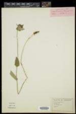 Campanula glomerata image