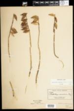 Image of Aplectrum hyemale