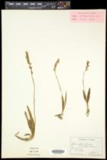 Spiranthes lucida image